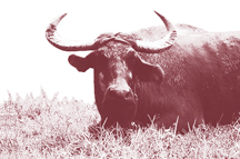 Philippine carabao (indigenous water buffalo)