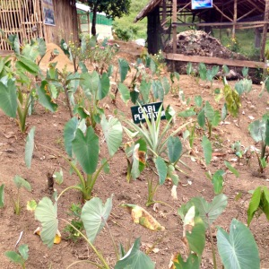 Basey Taro Patch (taro is a tropical plant primarily grown as a root vegetable for its edible starchy corn, and as a leaf vegetable)